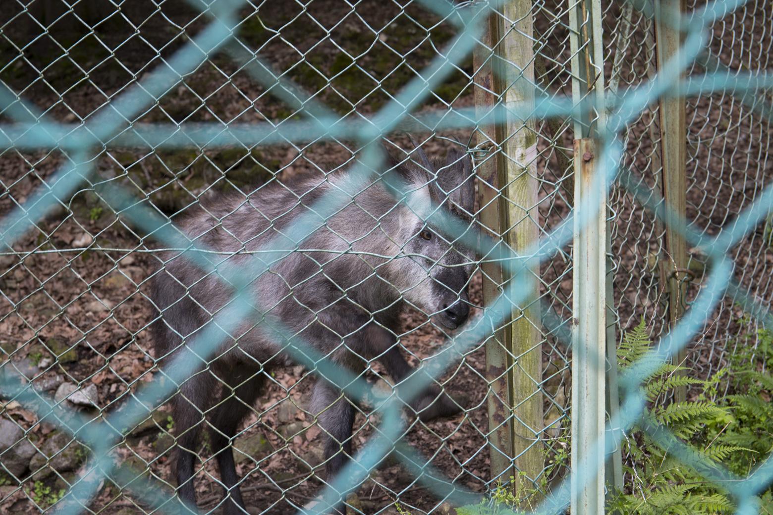 付属園で飼育されている二ホンカモシカ