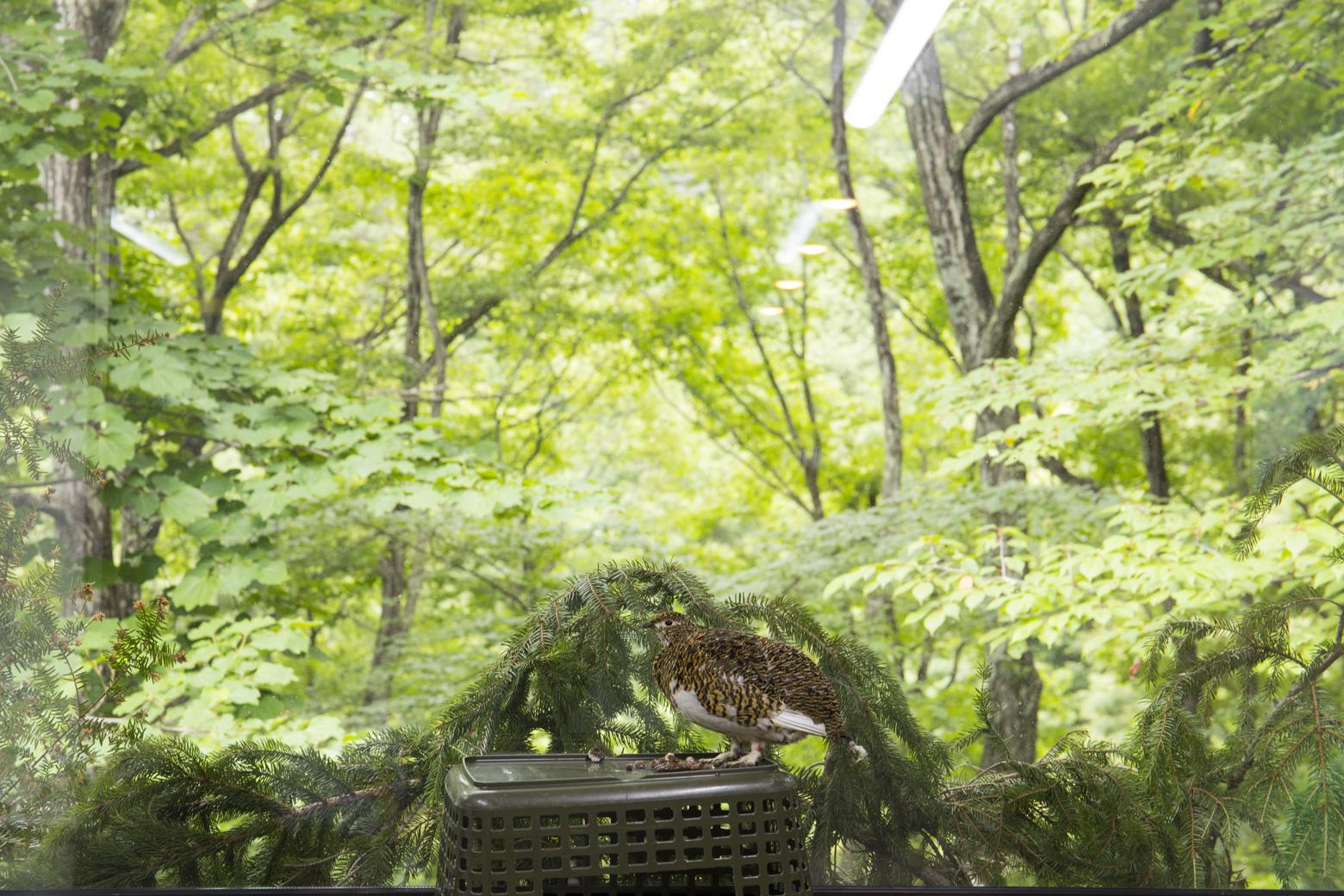 付属園で飼育されているライチョウ