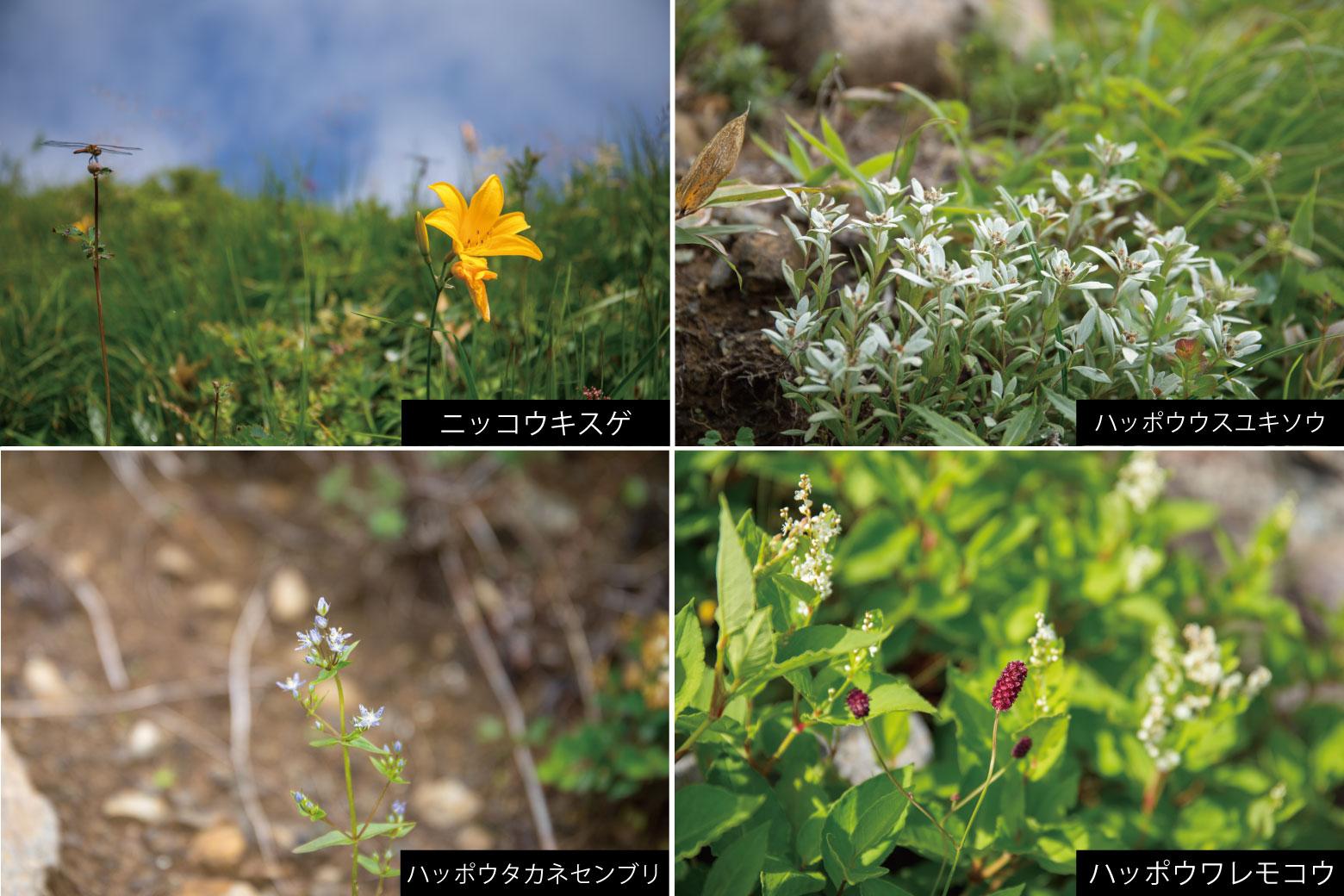 唐松岳登山道に咲く高山植物
