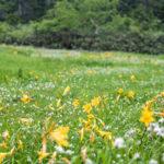 【夏の栂池自然園】ニッコウキスゲとワタスゲが見頃!7月24日の様子をレポ