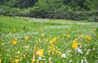 黄色いニッコウキスゲと白いワタスゲ