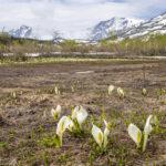 【2021年栂池自然園】ミズバショウ、ニッコウキスゲ、紅葉。各月ごとの見頃の花や楽しみ方を紹介!