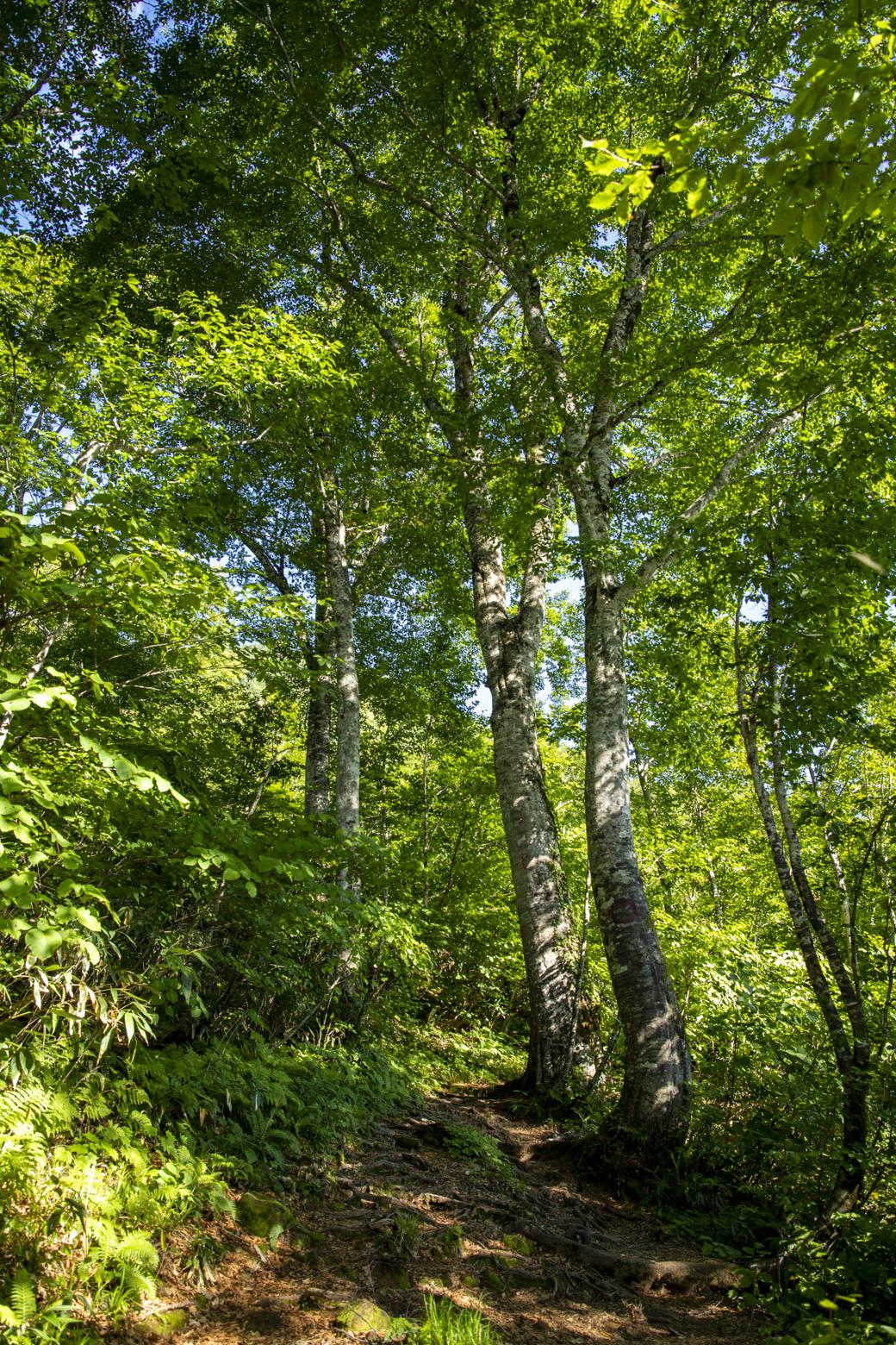 きれいなブナの森