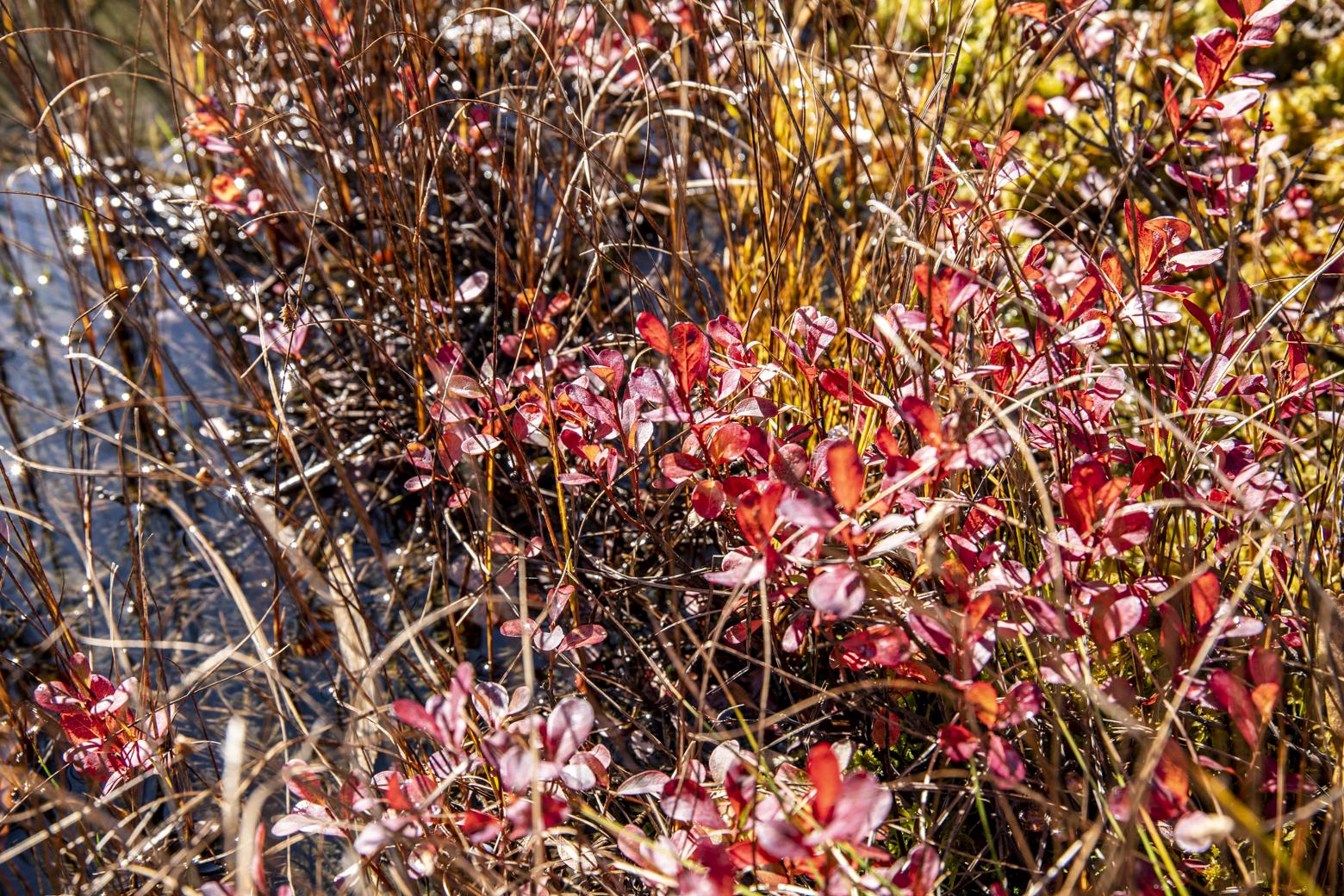 クロマメノキの紅葉